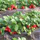 淮北20公分牛奶草莓对补光的需求图