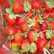 3年草莓苗图