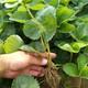 果洛20公分牛奶草莓对补光的需求图