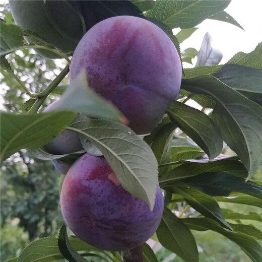 佳木斯风味玫瑰杏李夏季主枝摘心方法