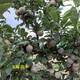白城3年味馨杏李授粉树配置比例图