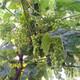玉树繁育克伦生葡萄服务至上产品图