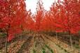 新鄉美國紅楓價格