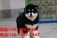 浙江寵物狗狗杭州犬舍出售純種博美比熊金毛薩摩拉布拉多阿拉斯加