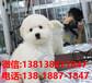 浙江寵物狗狗杭州犬舍出售純種比熊犬幼犬買狗賣狗地方有活體狗