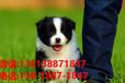 杭州寵物狗杭州犬舍賣狗買狗地方有寵物狗市場純種邊牧幼犬