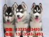 杭州寵物狗杭州犬舍杭州狗市場賣狗買狗地方有哈士奇犬出售