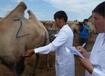 新疆駝奶粉貼牌加工OEM,阿勒泰駝奶粉貼牌