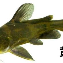 黃優一號純正種源黃顙魚苗低價供應圖片