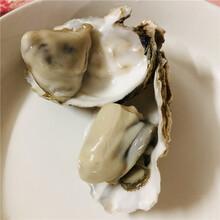 低價供應乳山牡蠣1-2兩/只乳山生蠔批發廠家供社區定訂小包裝圖片