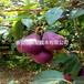 梨樹苗銷售廠家、泰安梨樹苗市場行情