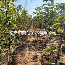 梨树苗培育基地、梨树苗价格及报价图片