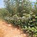 蘋果樹苗種植基地、泰安蘋果樹苗市場行情