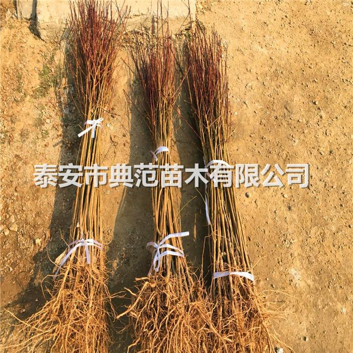 李子树苗品种介绍、李子苗市场行情