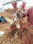 黃金蜜葡萄樹苗銷售價格-葡萄苗培育基地