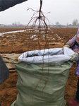 黃金蜜葡萄樹苗基地價格-葡萄苗種植技術