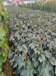 黃金蜜葡萄樹苗價格-葡萄苗種植基地
