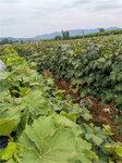 黃金蜜葡萄樹苗基地價格-葡萄苗批發