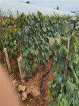 黃金蜜葡萄樹苗今年價格-葡萄苗種植技術