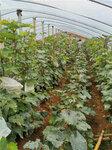 黃金蜜葡萄樹苗銷售價格-葡萄苗種植