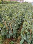 黃金蜜葡萄樹苗今年價格-葡萄苗銷售