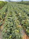 黃金蜜葡萄樹苗今年價格-葡萄苗批發基地