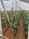 黃金蜜葡萄樹苗培育基地