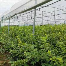 春高蓝莓苗种植-春高蓝莓苗品种介绍图片