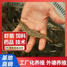 南美白对虾养殖技术要点图片