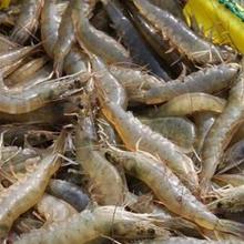 南美白对虾养殖成本与利润图片