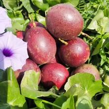西安百香果市場價格圖片
