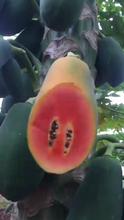 朝陽樹上熟紅心木瓜批發價格圖片