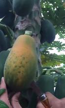 伊春紅心木瓜市場價格圖片