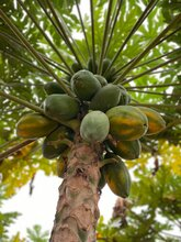 紅心木瓜市場價格圖片
