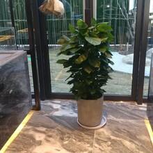 江夏区酒店绿植租赁图片
