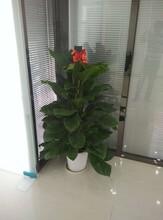 青山区办公室绿植批发图片