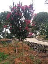寧波天鵝絨紫薇種植園圖片