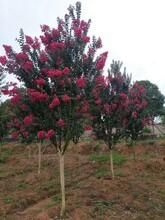 新勝林天鵝絨紫薇圖片
