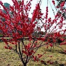 麗水紅梅樹苗基地直銷圖片