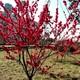 紅梅樹苗苗圃圖