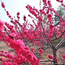 金華紅梅樹苗圖片