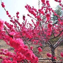 紅梅樹苗種植基地
