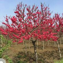 舟山紅梅樹苗圖片