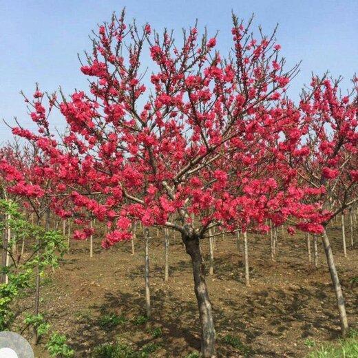 紅梅樹苗圖