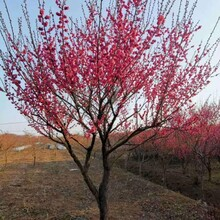 杭州紅梅樹苗出售圖片