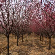 溫州紅梅樹苗基地圖片