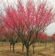 衢州紅梅樹苗圖片