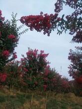 衢州紅火箭紫薇供應圖片