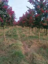 浙江紅火箭紫薇苗圃圖片