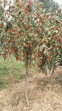 毕节枸杞树种植图片